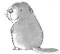 Small_beaver1